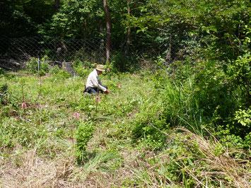 ブナ育成地の除草