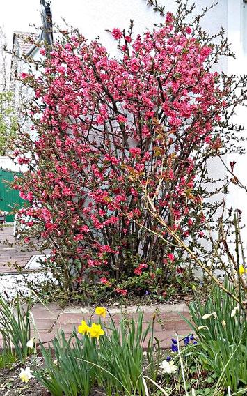 Das dunkelrose Blütenmeer des Apfelquitten-Strauches (Zierquitte/Scheinquitte) im April von Carola Hauf