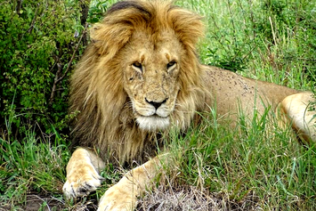 Löwe auf einer Tansania Safari, Tansania Kleingruppenreise