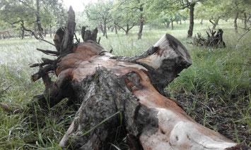 Manche der alten Bäume dürfen selbst als Totholz noch eine letzte Aufgabe erfüllen.