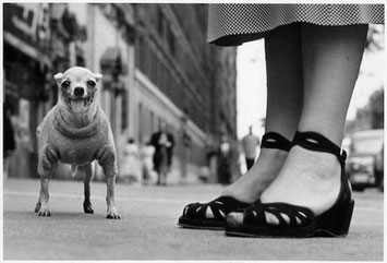 ELLIOTT ERWITT: A sweatered Chihuahua, New York City, 1946
