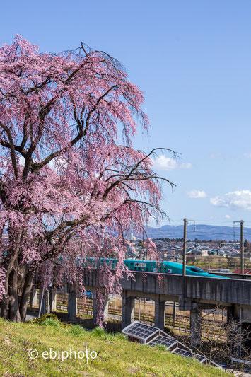 新幹線と枝垂れ桜