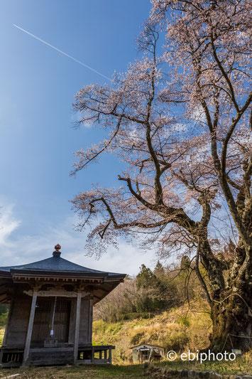 筆甫のウバヒガン桜
