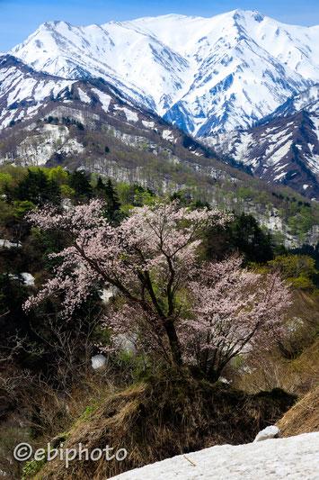 樽口峠の一本桜