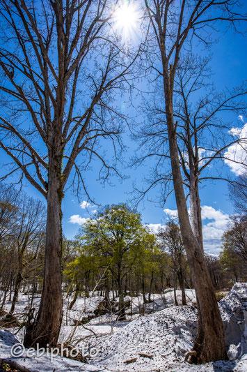 残雪とブナの新緑