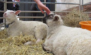 Die Schafschur war ein spontan entstandener Programmpunkt und - obwohl vorher gar nicht angekündigt - eindeutig ein Renner.
