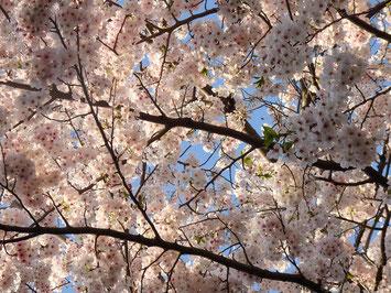 ここ数年曇り空花見が多かったので、青空に映える桜に惚れ惚れ