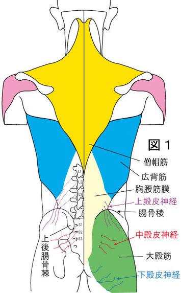 上殿皮神経と中殿皮神経障害