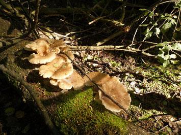 """Die kultivierbaren Austernseitlinge wachsen bevorzugt auf Buchenholz, doch auch auf anderen Laubhölzern. Man findet sie auch außerhalb der """"Saison""""."""