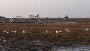 近郊の畑に飛来する白鳥に感激!!