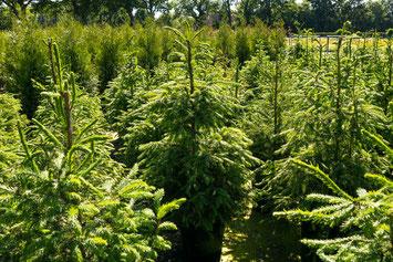 Picea abies zum Aufpflanzen von Weihnachtsbäumen