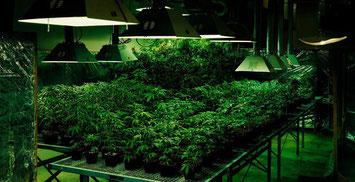 Großer Hanf Cannabis  Indoor Anbauraum (Grow room)