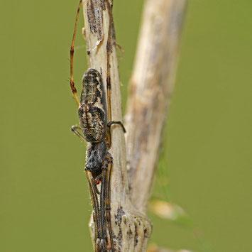 Dunkle Streckerspinne (Tetragnatha nigrita)