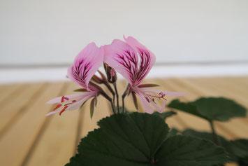 Auch in Bayern eine sehr beliebte Pflanze: Die Pelargonie (Foto: Bayerische Schlösserverwaltung)