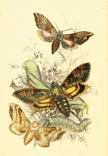 The genera of British moths, Paul Jerrard & Sons, 1860