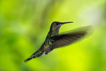 Kolibri im Nature Pavilion Park in La Virgen in Costa Rica © 2016 belimago Stephan Stamm