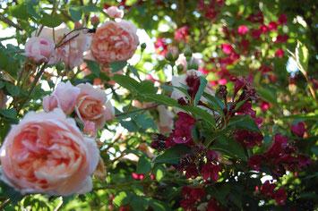Meilland Rose Colette
