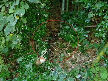 オオスズメバチの巣発見