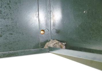 溝に挟まったコウモリ
