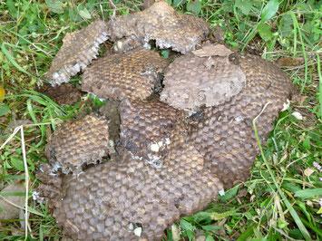 駆除したオオスズメバチの巣