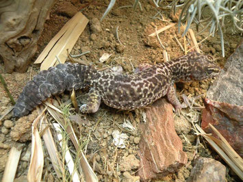 Auch im Alter jagen Geckos ihr Futter im Terrarium Foto: E. Laue