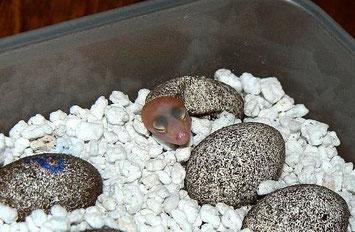 Leopardgecko Schlupf Schlüpfling Perlite Eier Inkubation Zucht