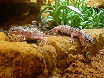 Fest werdendes Sand-Lehmgemisch, gute Haltungsbedingungen und gesunde Geckos. Foto: Karsten