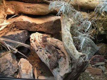 Hier fühlt sich der Leopardgecko sichtlich wohl! Foto: E. Laue