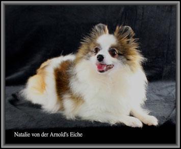 Pomeranian Hündin Natalie von der Arnold's Eiche