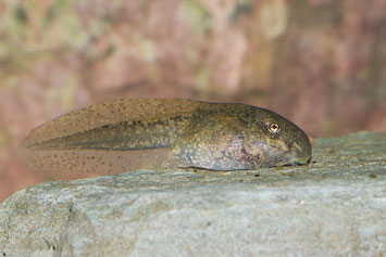 Kaulquappe der Geburtshelferkröte NABU Düren Amphibienschutz