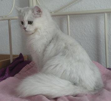 Sissy Laetitia (BLH aus CZ), geb. 6.01.2012