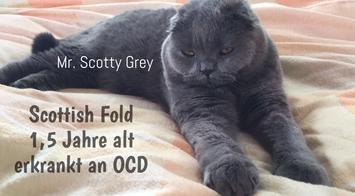 Scottish Fold Katze, 1,5 Jahre alt, schwer erkrankt an Osteochondrodysplasie