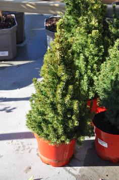 Picea Gl. Conica