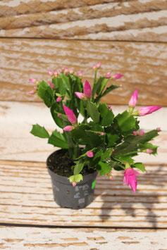 Weihnachts- Kaktus, Rosa