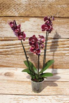 Orchidee, Beere