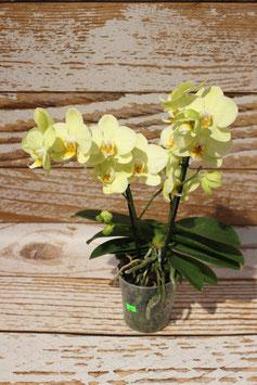 Orchidee, Gelb