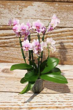 Orchidee, Rosa/Weiß