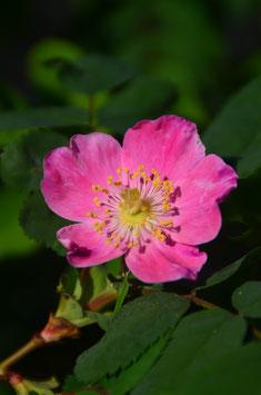 Rosa pendulina - Alpenheckenrose