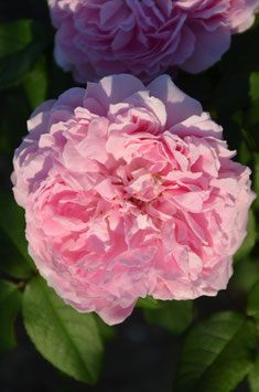Jacques Cartier (Rosa damascena)