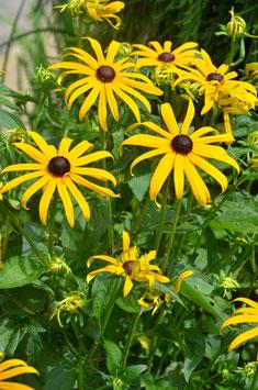 Rudbeckia fulgida ' Little Goldstar'