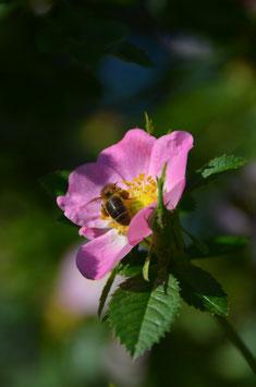 Rosa rubiginosa - Zaunrose/Apfelrose