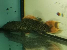 LDA 07 / L 600, Pseudacanthicus leopardus