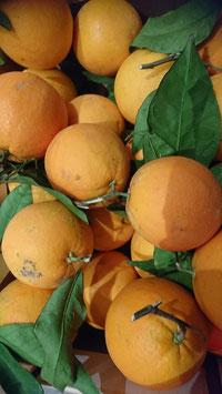 Orangen mit Laub