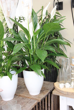 Spathiphyllum/Einblatt
