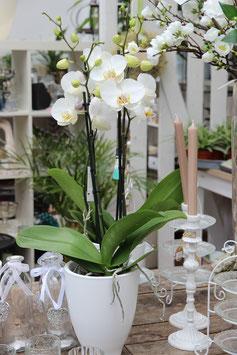 Orchidee 2-triebig