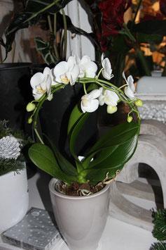 Orchidee i. Bogen