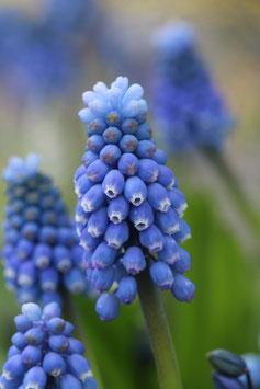 Dubbele kaart 'Voorjaar Blauwe Druif'