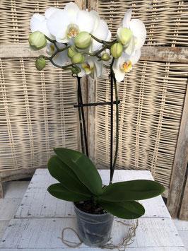 Phalaenopsis 2 Rispen weiss Topfdurchmesser 11,5cm Höhe ca. 52cm