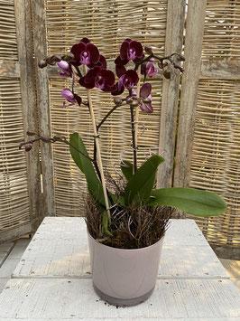 Orchidee Rot Pink mit Glasübertopf