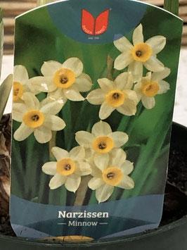 Narzisse minnow Topfdurchmesser 10cm